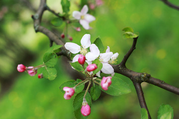 Spring flower with pink blossom