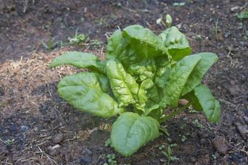 Garden Spinach Plant