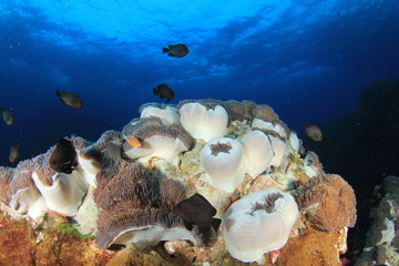 Anemones on coral reef