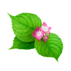 green leaf flower pink isolated white