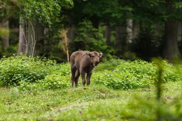 Calf of european bison, wisent (Bison bonasus)