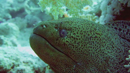Giant Morey Eel in the Red Sea