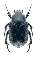 Beetle Aethiessa floralisi