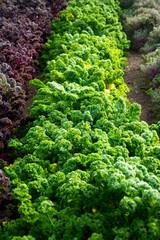 Rows of kale growing in garden