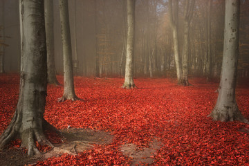 Red leaves and fog in romantic autumn forest