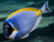 blue surgeonfish - 73398824