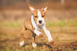 American staffordshire terrier puppy running with ears up