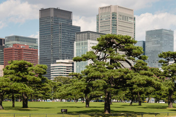 pine trees growing in park in Tokyo center