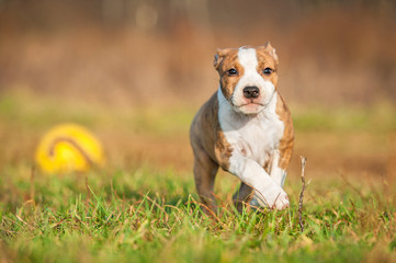 American staffordshire terrier puppy playing with a ball