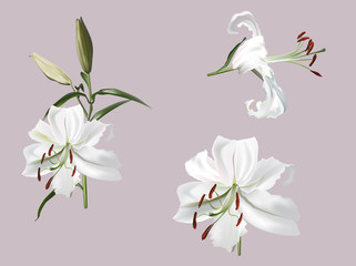 white lily flower isolated on light background