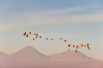 Flamingos flying, Salt flat of Atacama (Chile)