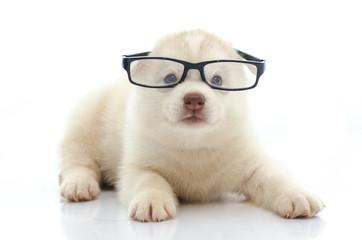 Cute siberian husky wearing glasses on white background