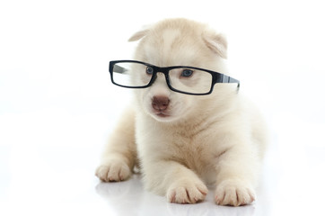 Cute siberian husky wearing glasses on white background