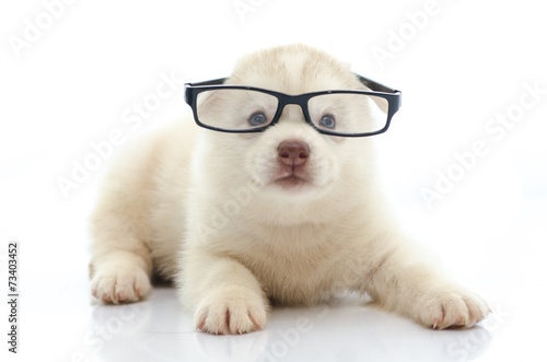 Foto op Canvas Dragen Cute siberian husky wearing glasses on white background