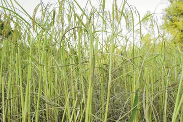 Cornfield Rice