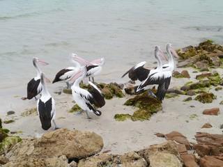 Australian pelicans on the beach in Australia