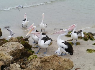 Australian pelicans on the beach of Kangaroo island in Australia