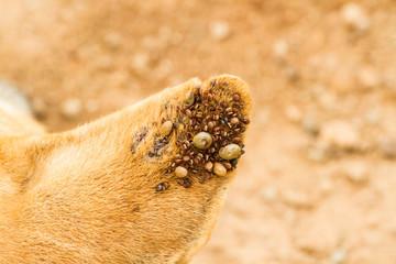 Dog ticks
