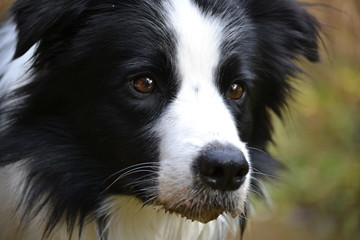 Border Collie Beau