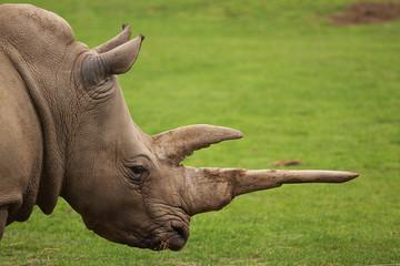 white rhino portrait 9648