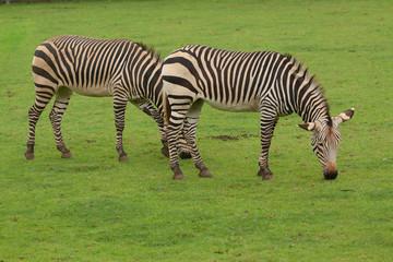 pair of grazing zebra 9569