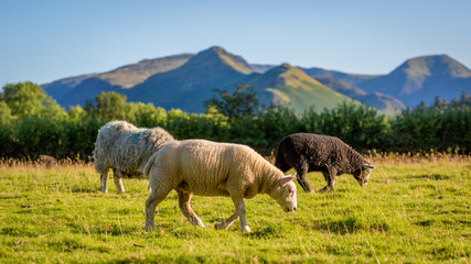 Herdwick sheep grazing in The Lake District, England