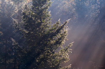 sunbeams in coniferous foggy forest