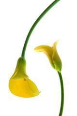 Calla,Blumen
