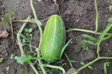 Salad cucumber in the garden