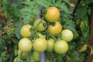 Unripe tomatoes on shrub