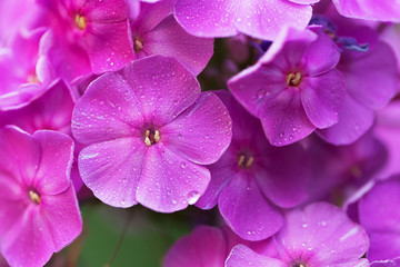 Bright purple garden phlox