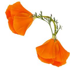 Corner of two flowers of Eschscholzia californica