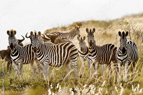 Zebra family group