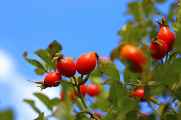 An Autumn red dog rose tree growing