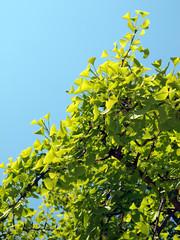 春の陽を浴びる銀杏の葉