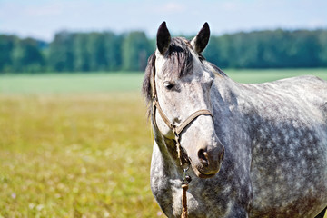 Horse gray in meadow