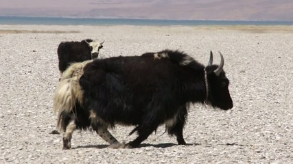 Big adult yak in Tibet.