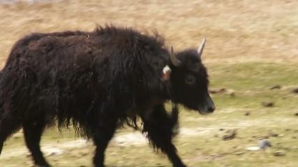 Tibetan yak calf runs.