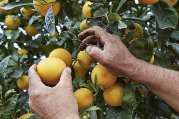 Italy, sicily, countryside, sicilian oranges harvest
