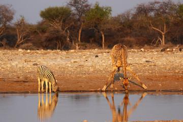 Giraffe und Steppenzebra am Wasserloch