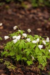first spring flowers, snowdrops in garden