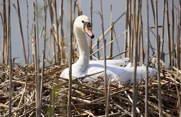 swan sitting on the nest
