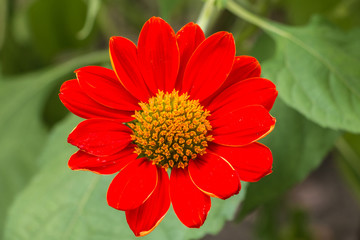 Red flower of Zinnia in garden