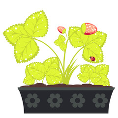 Strawberry in Flower Pot