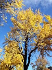 goldgelbe Blätter vor stahlblauem Himmel