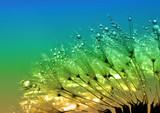 dewy dandelion close up - 73423602