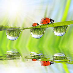 Fresh green grass with dew drops and ladybugs