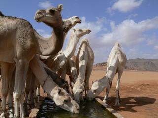 Kamele von Tuareg am Brunnen