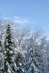 Snow and ice covered trees against blue sky