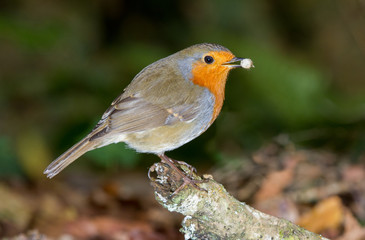 Robin with food in his beak perched on a branch against natural